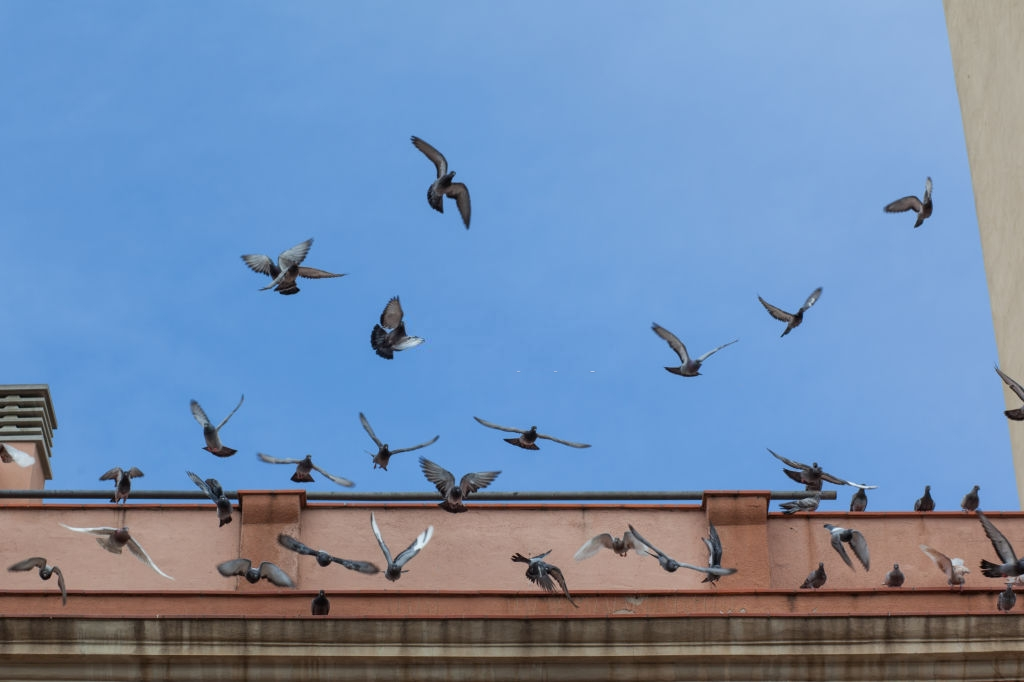 Pigeon Pest, Pest Control in Enfield, EN1. Call Now 020 8166 9746