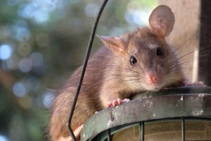 Rat Infestation, Pest Control in Enfield, EN1. Call Now 020 8166 9746