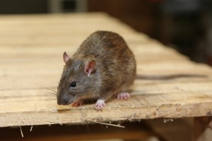 Rodent Control, Pest Control in Enfield, EN1. Call Now 020 8166 9746